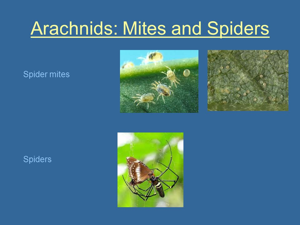 Arachnids: Mites and Spiders
