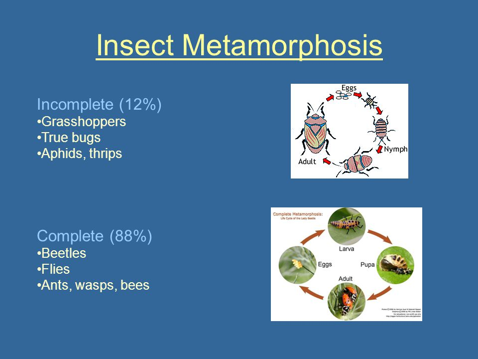 Insect Metamorphosis Incomplete (12%) Complete (88%) Grasshoppers