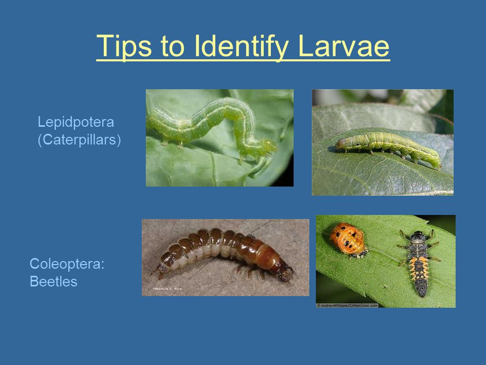 Tips to Identify Larvae