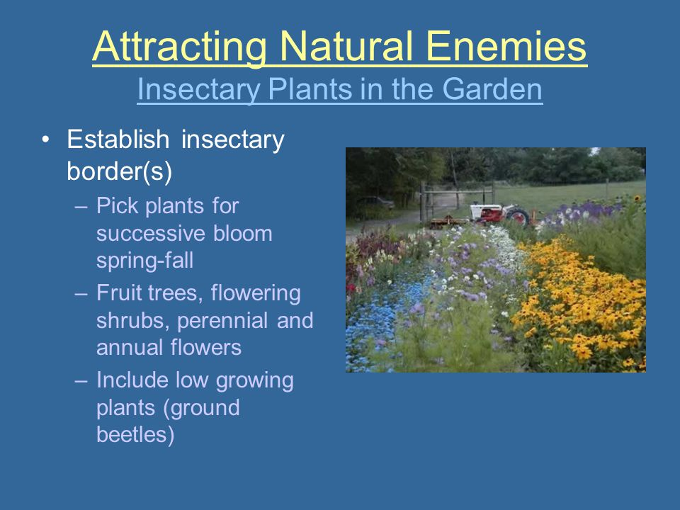 Attracting Natural Enemies Insectary Plants in the Garden