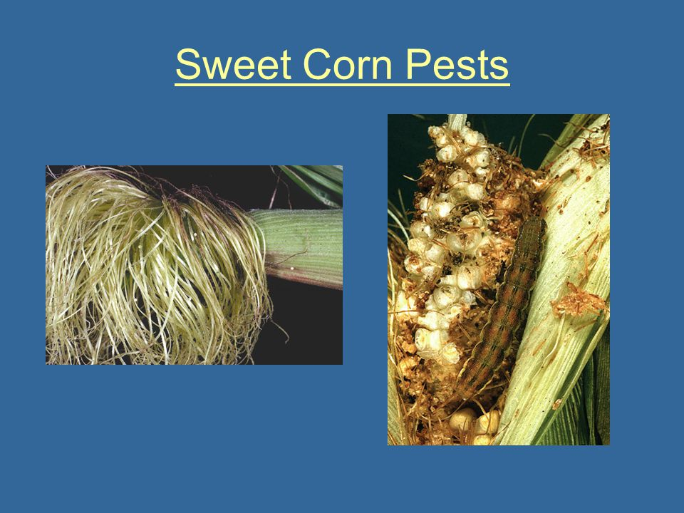 Sweet Corn Pests