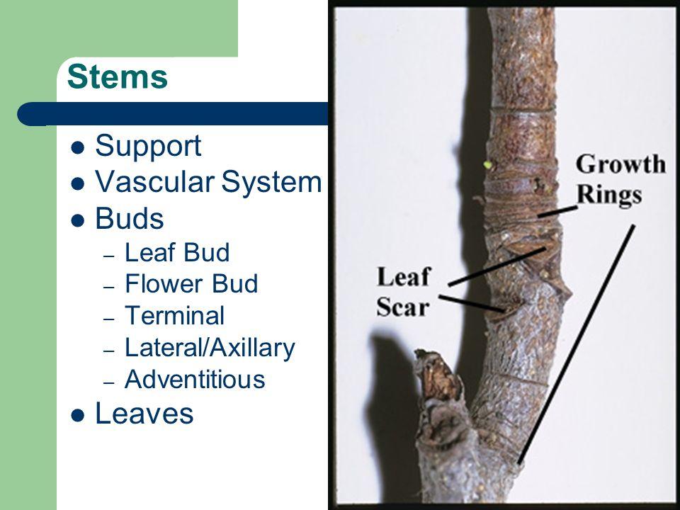 Stems Support Vascular System Buds Leaves Leaf Bud Flower Bud Terminal