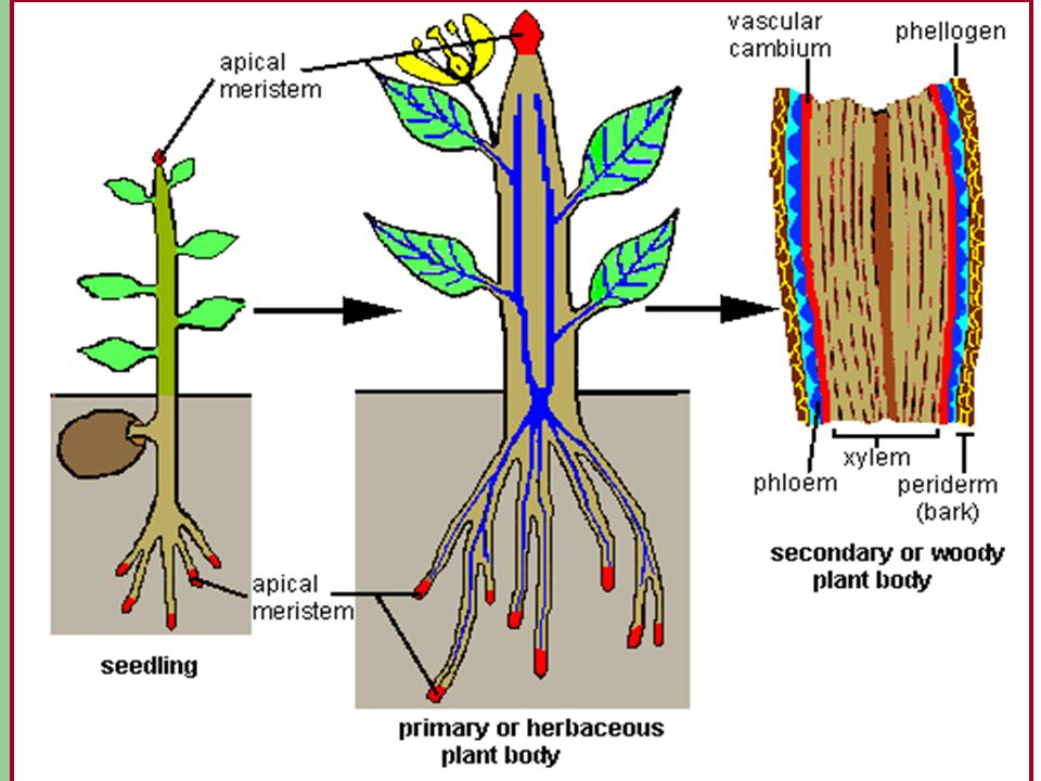 Meristems Primary Growth Secondary Growth apical meristem or apex