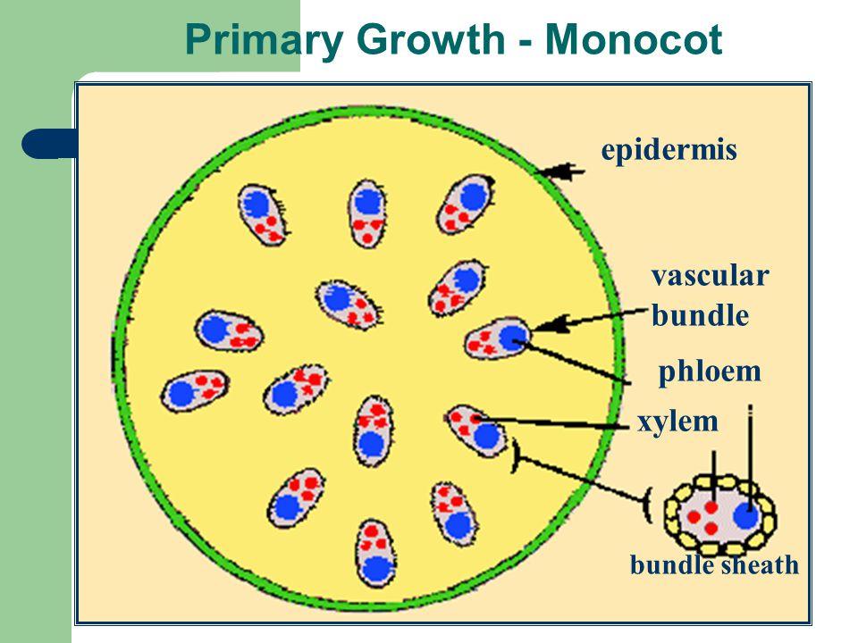 Primary Growth - Monocot