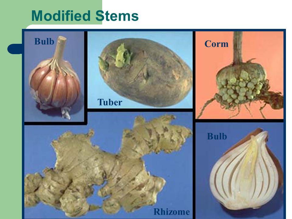 Modified Stems Bulb Corm Tuber Bulb Rhizome