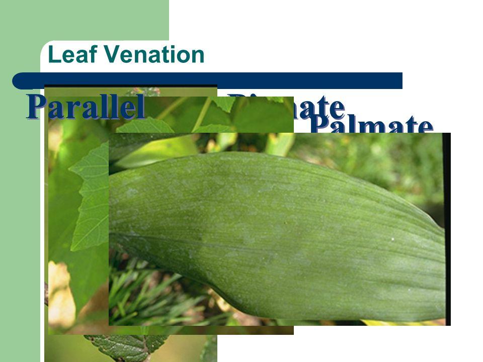 Parallel Pinnate Palmate Leaf Venation Vascular bundles