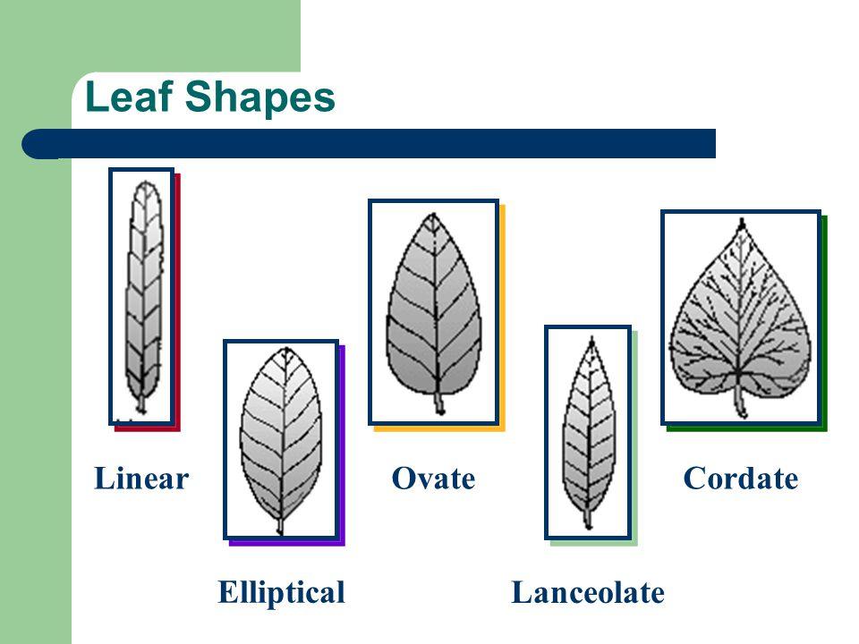 Leaf Shapes Linear Ovate Cordate Lanceolate Elliptical