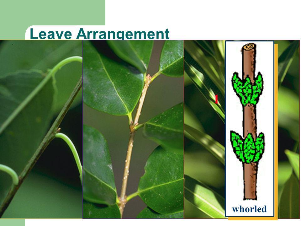 Leave Arrangement alternate opposite whorled whorled alternate