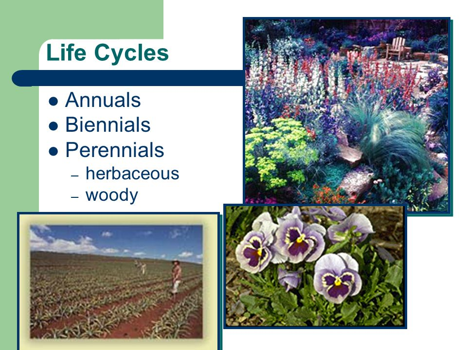 Life Cycles Annuals Biennials Perennials herbaceous woody (PG 8)
