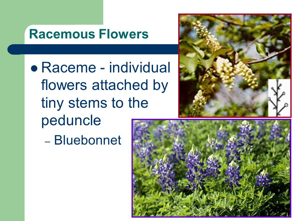 Raceme - individual flowers attached by tiny stems to the peduncle