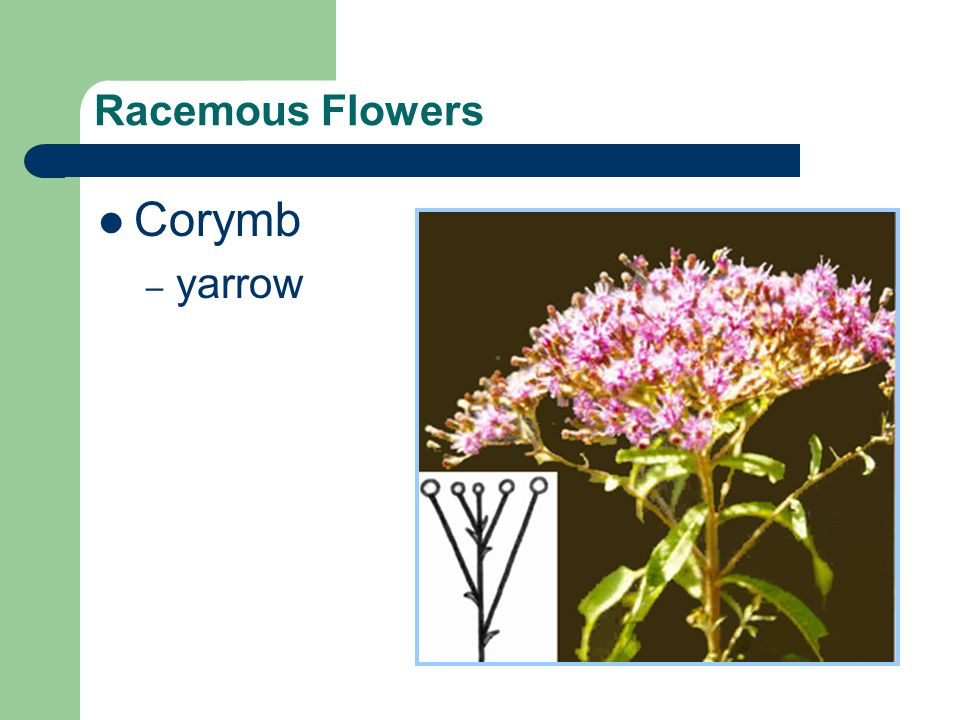 Racemous Flowers Corymb yarrow