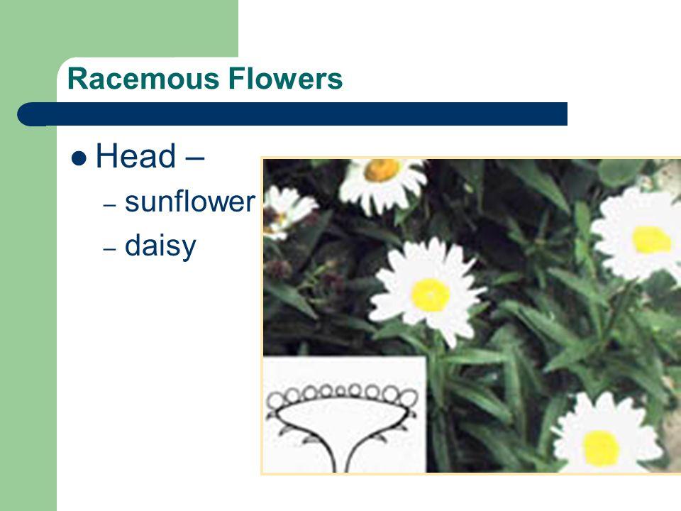 Racemous Flowers Head – sunflower daisy