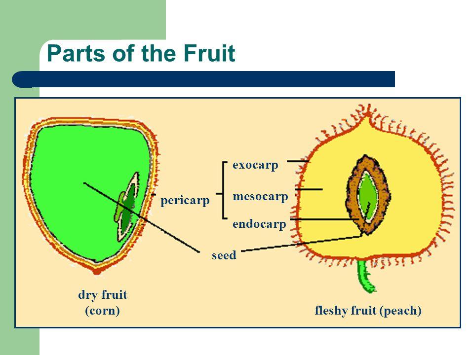 Parts of the Fruit exocarp mesocarp pericarp endocarp seed dry fruit