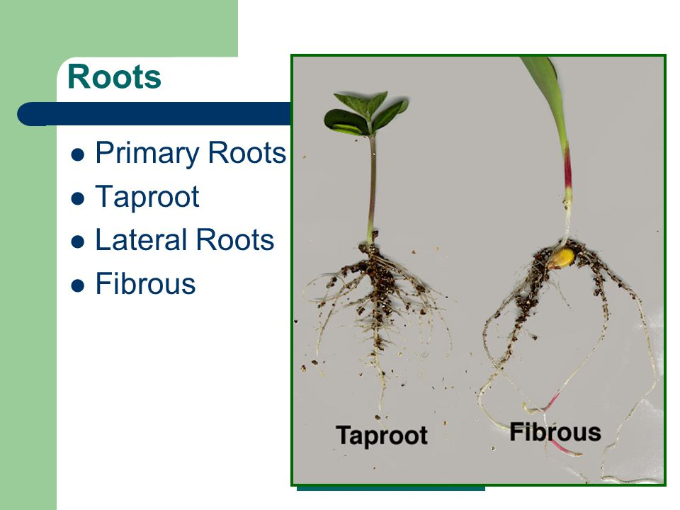 Roots Primary Roots Taproot Lateral Roots Fibrous