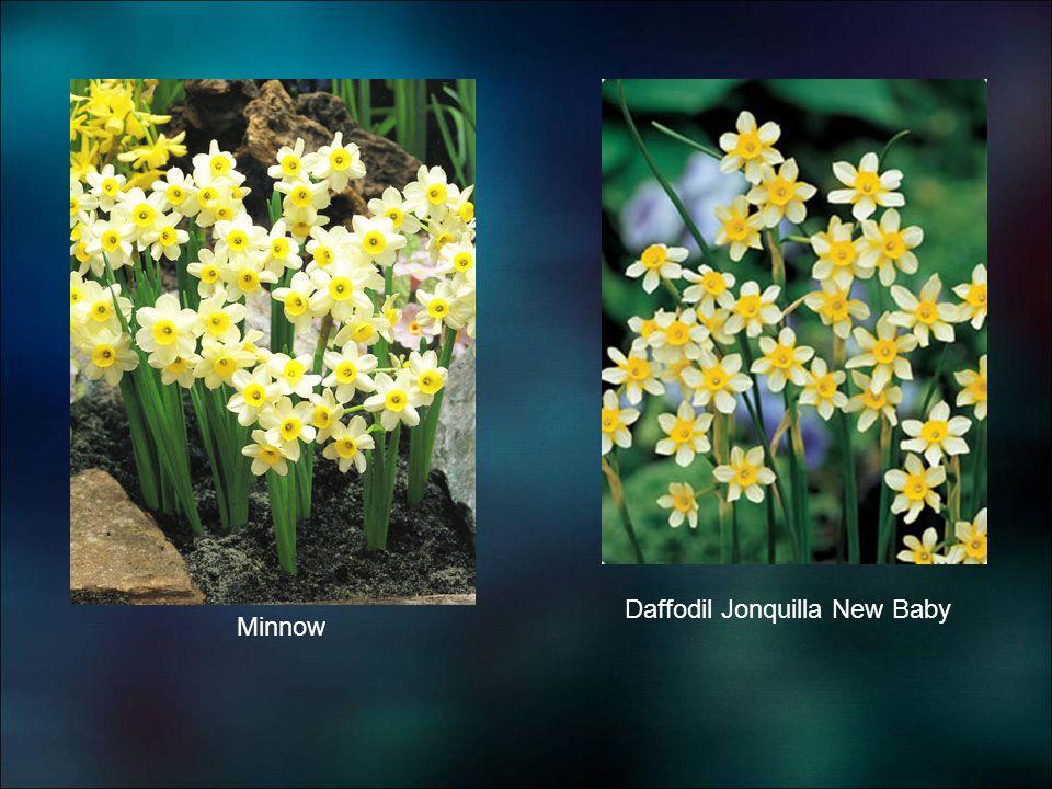 Daffodil Jonquilla New Baby