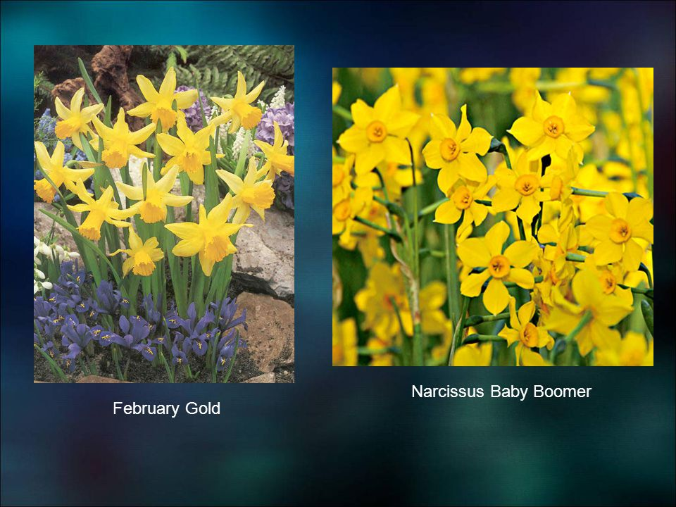 Narcissus Baby Boomer February Gold