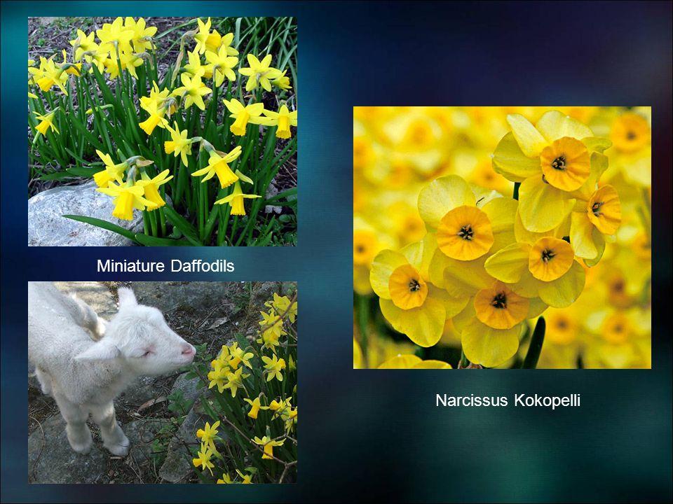 Miniature Daffodils Narcissus Kokopelli
