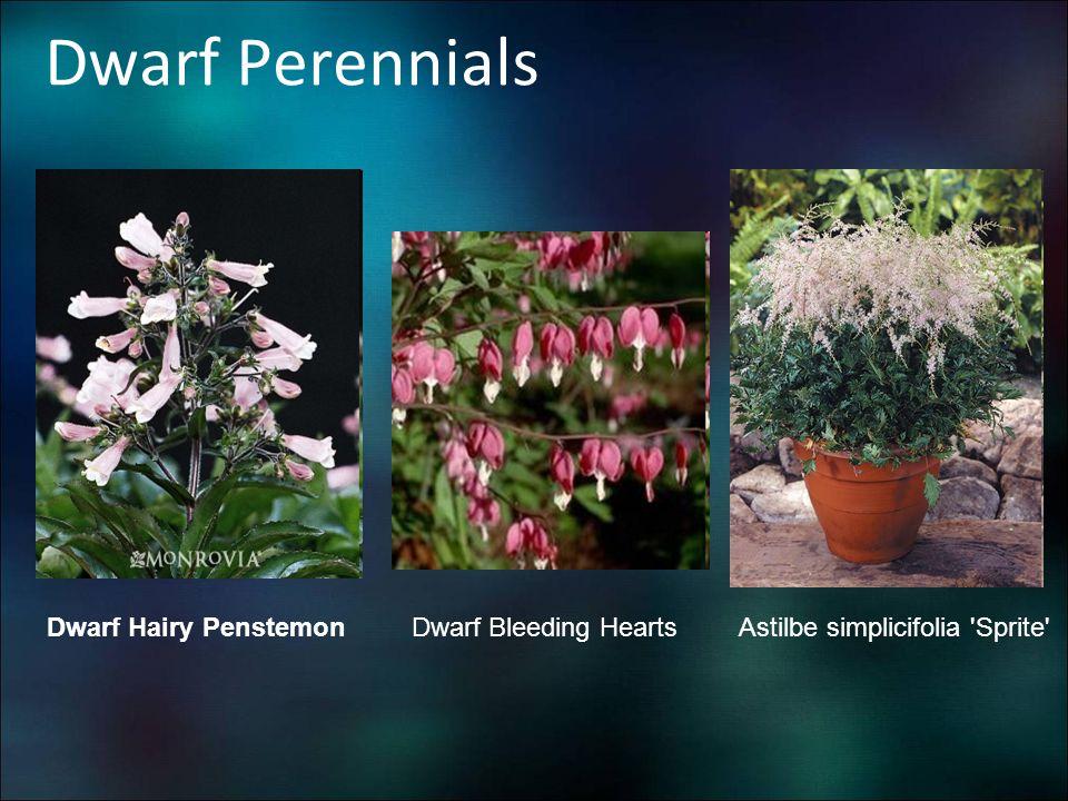 Dwarf Perennials Dwarf Hairy Penstemon Dwarf Bleeding Hearts