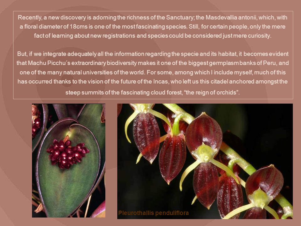 Recently, a new discovery is adorning the richness of the Sanctuary; the Masdevallia antonii, which, with a floral diameter of 18cms is one of the most fascinating species. Still, for certain people, only the mere fact of learning about new registrations and species could be considered just mere curiosity. But, if we integrate adequately all the information regarding the specie and its habitat, it becomes evident that Machu Picchu´s extraordinary biodiversity makes it one of the biggest germplasm banks of Peru, and one of the many natural universities of the world. For some, among which I include myself, much of this has occurred thanks to the vision of the future of the Incas, who left us this citadel anchored amongst the steep summits of the fascinating cloud forest, the reign of orchids .