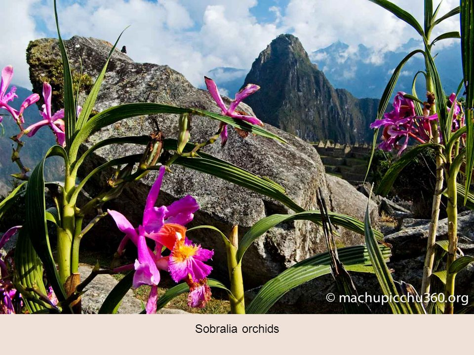 Sobralia orchids