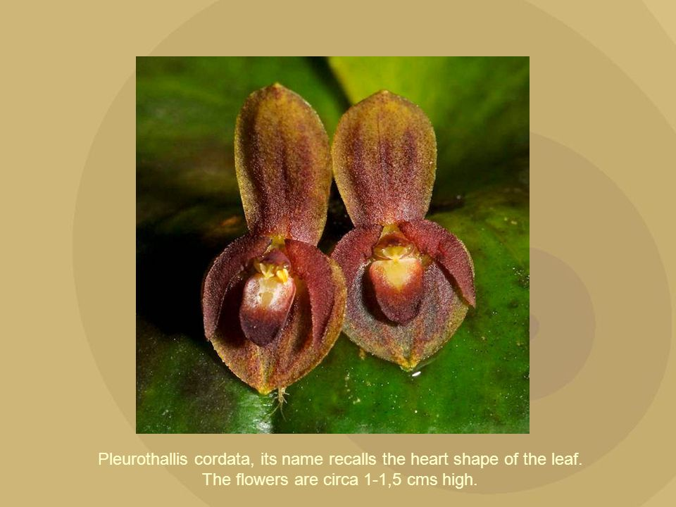 Pleurothallis cordata, its name recalls the heart shape of the leaf
