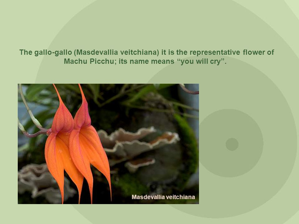 The gallo-gallo (Masdevallia veitchiana) it is the representative flower of Machu Picchu; its name means you will cry .