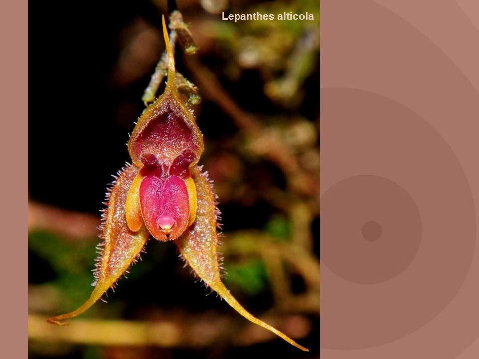 Lepanthes alticola