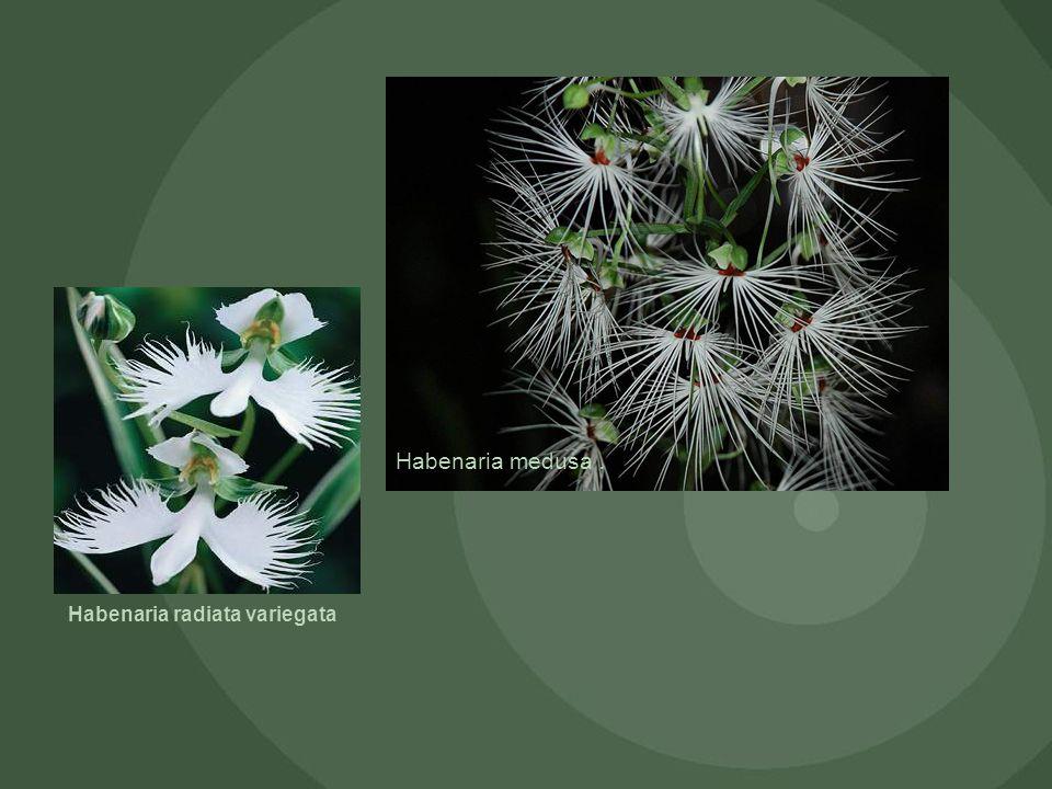 Habenaria radiata variegata