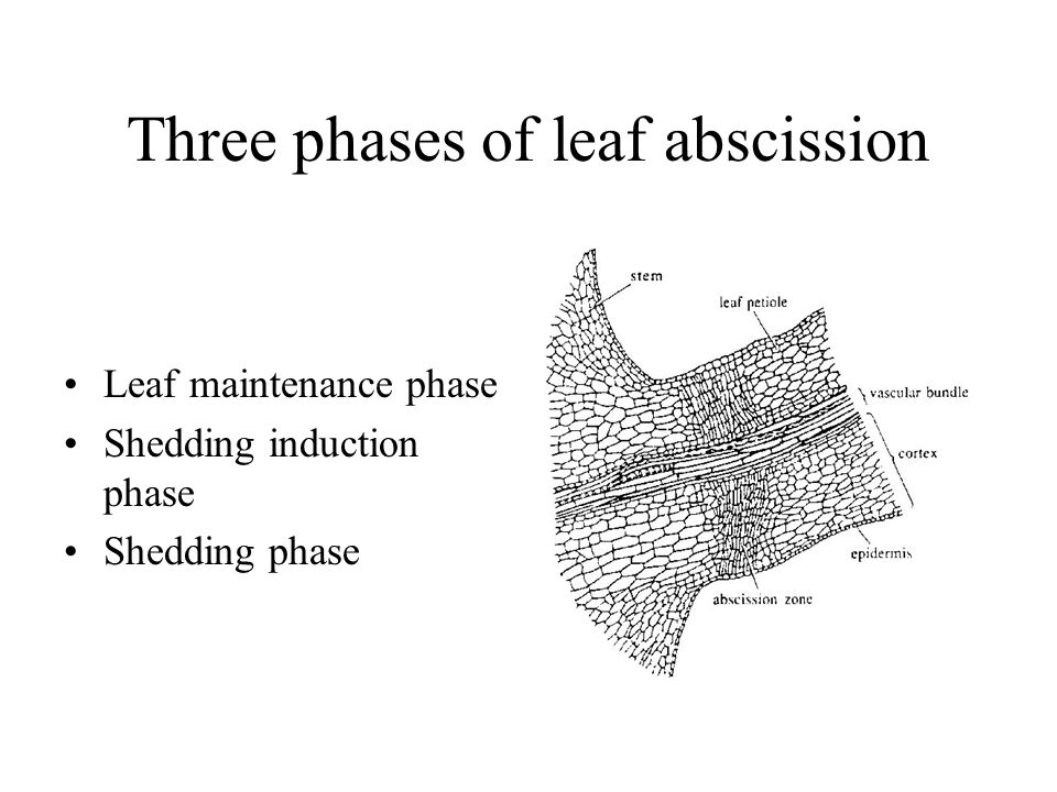 Three phases of leaf abscission
