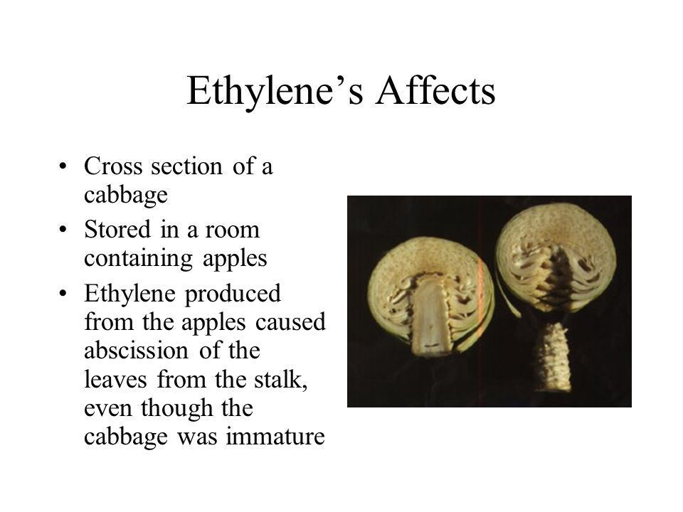 Ethylene's Affects Cross section of a cabbage