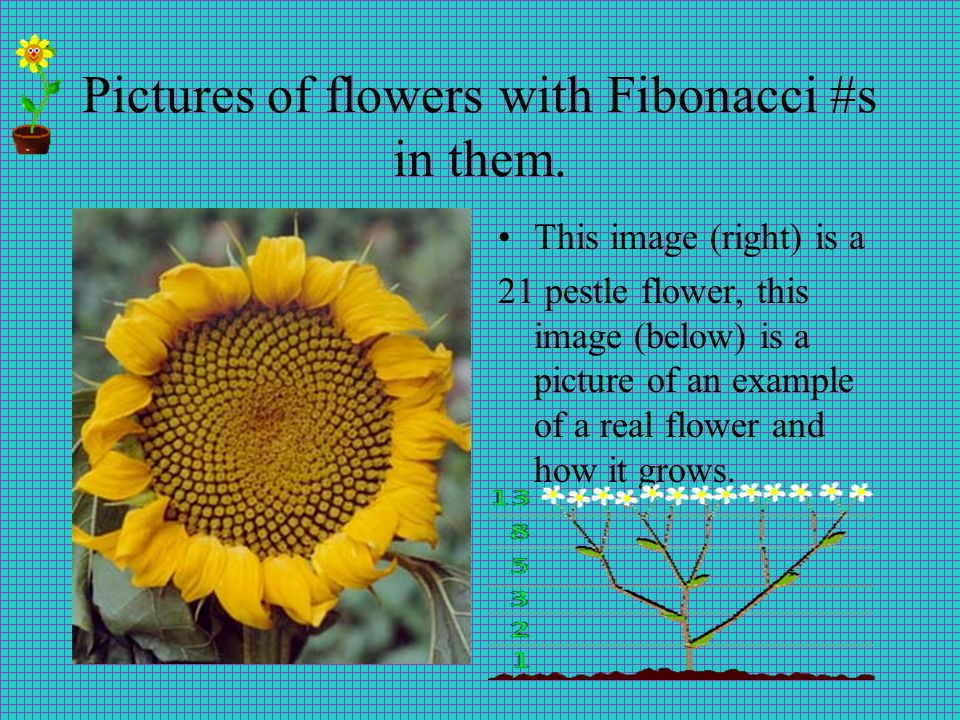Pictures of flowers with Fibonacci #s in them.