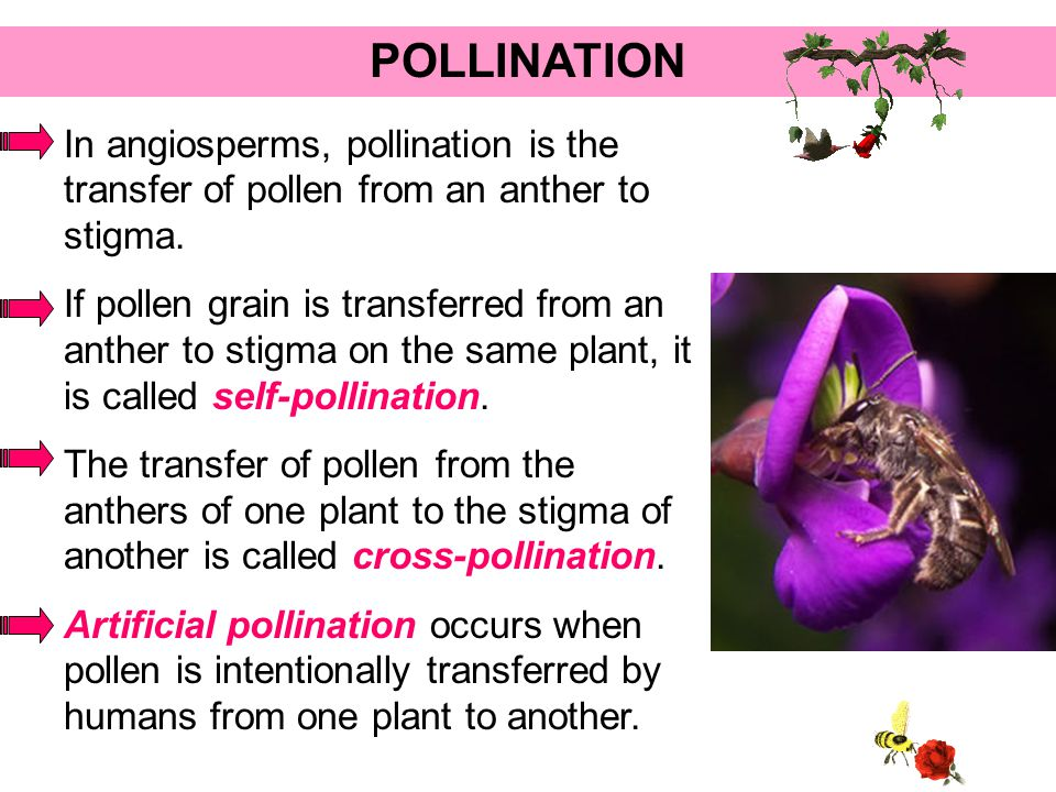 POLLINATION In angiosperms, pollination is the transfer of pollen from an anther to stigma.