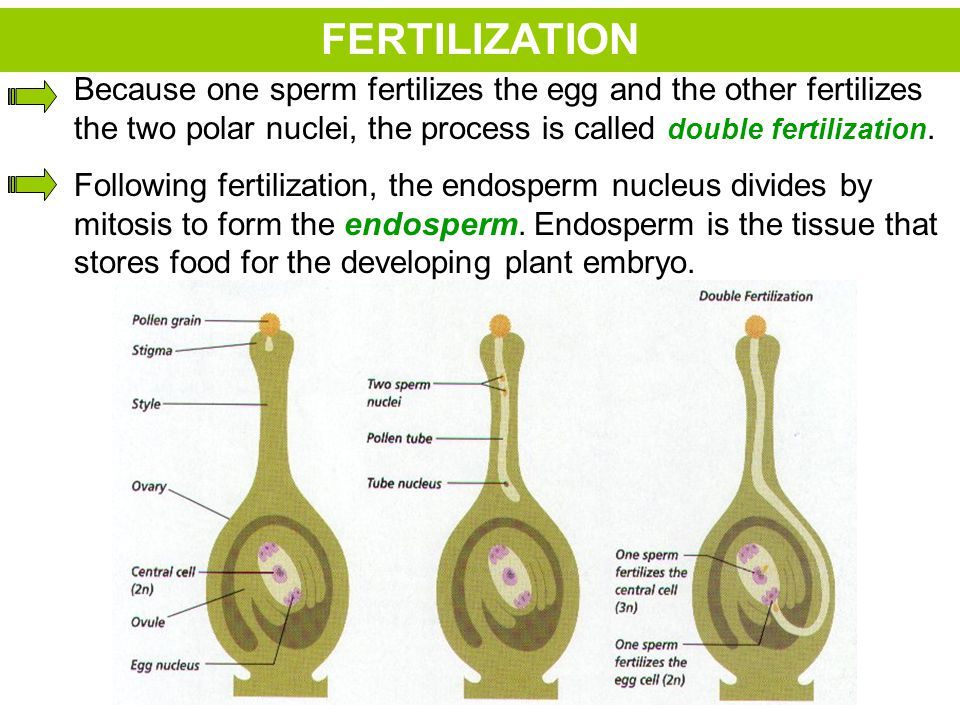 FERTILIZATION Because one sperm fertilizes the egg and the other fertilizes the two polar nuclei, the process is called double fertilization.