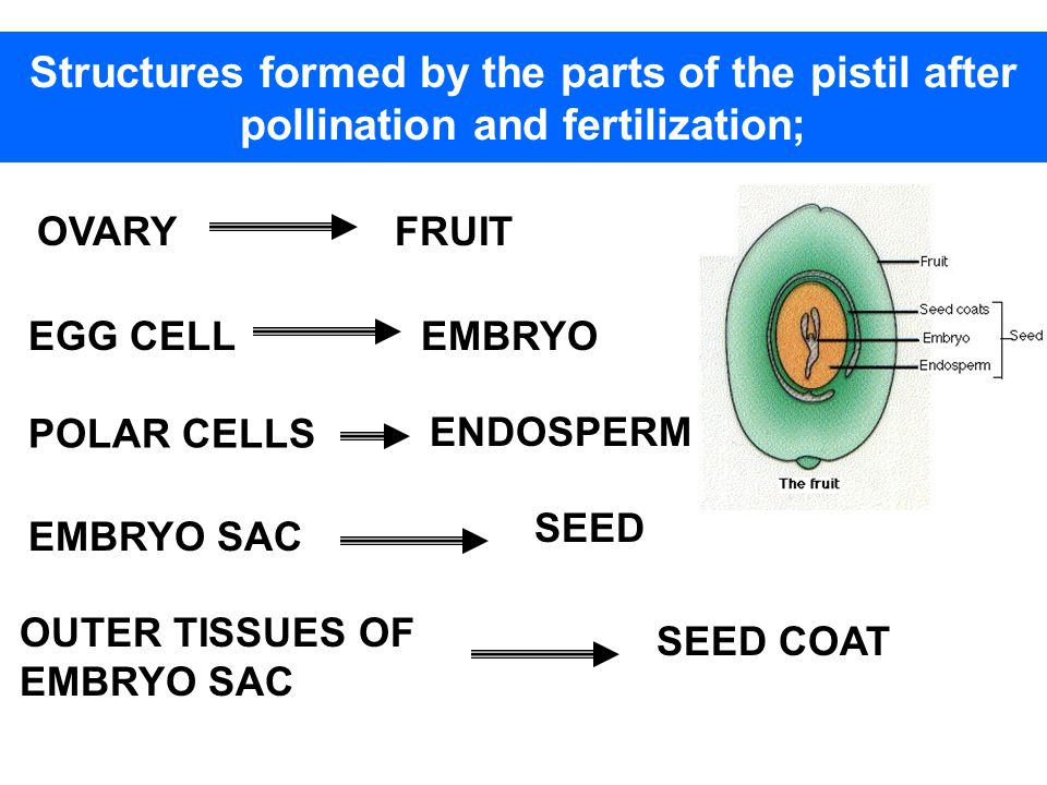 Structures formed by the parts of the pistil after pollination and fertilization;