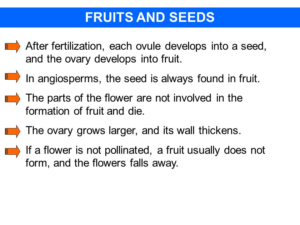 FRUITS AND SEEDS After fertilization, each ovule develops into a seed, and the ovary develops into fruit.