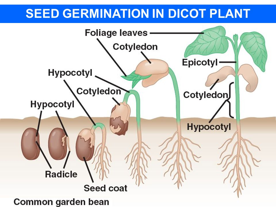 SEED GERMINATION IN DICOT PLANT