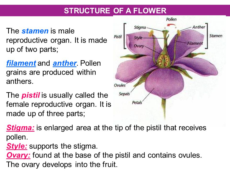 STRUCTURE OF A FLOWER The stamen is male reproductive organ. It is made up of two parts;