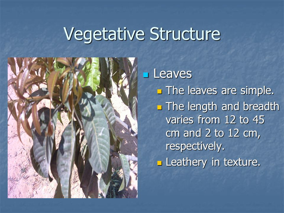 Vegetative Structure Leaves The leaves are simple.