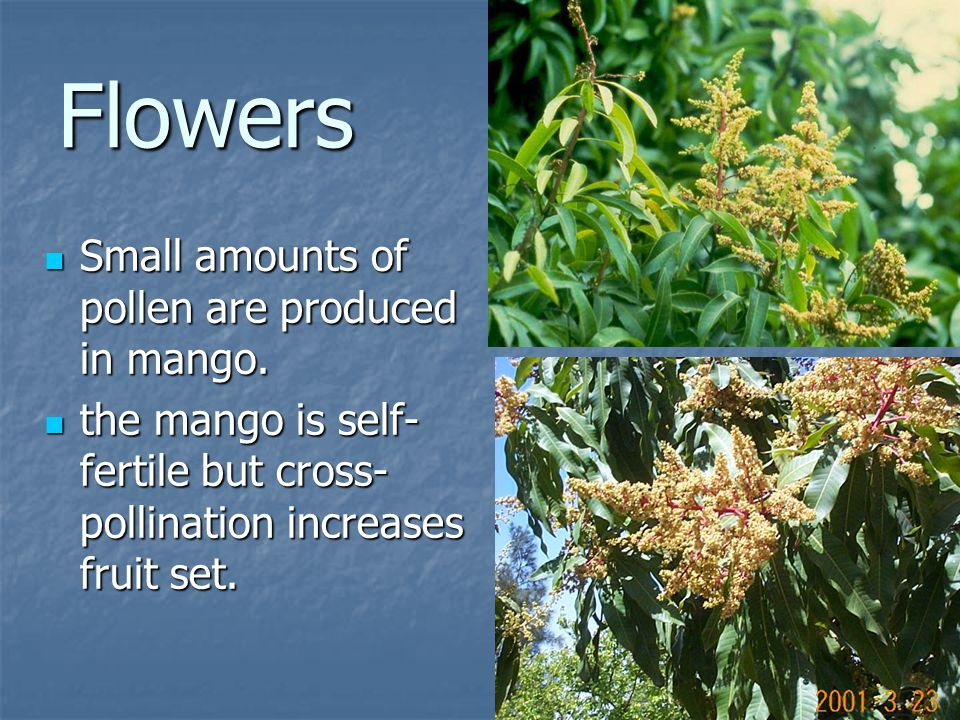 Flowers Small amounts of pollen are produced in mango.