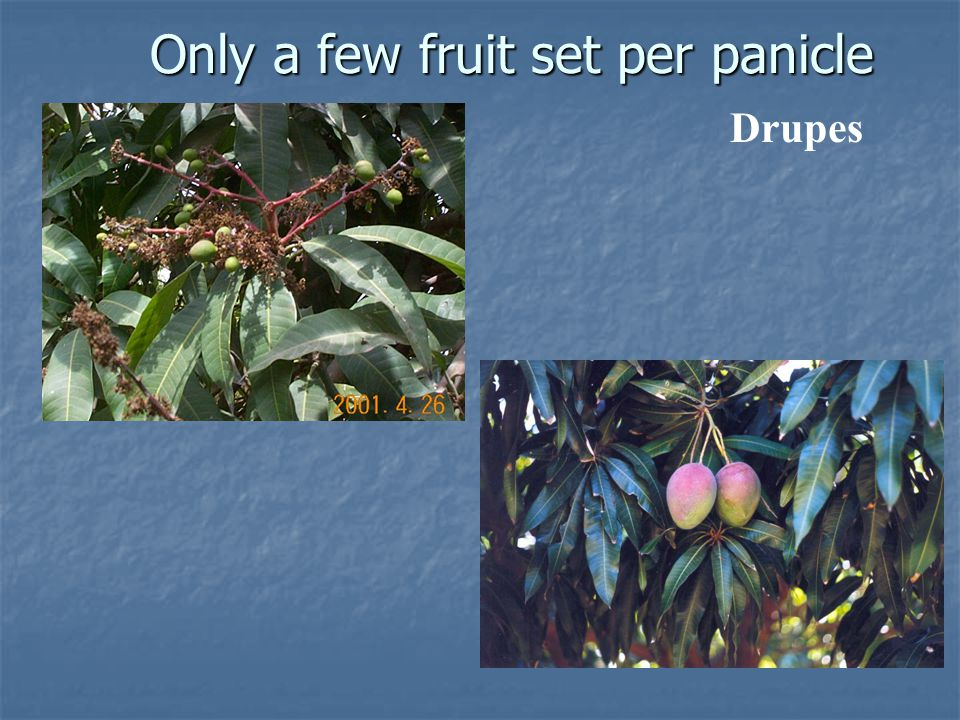 Only a few fruit set per panicle