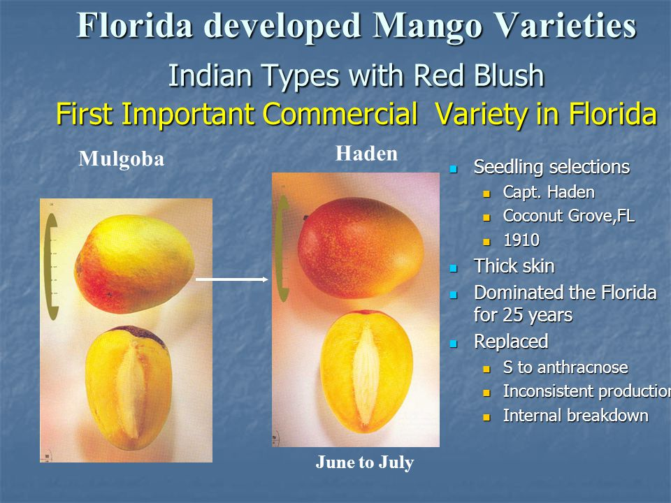 Florida developed Mango Varieties Indian Types with Red Blush First Important Commercial Variety in Florida