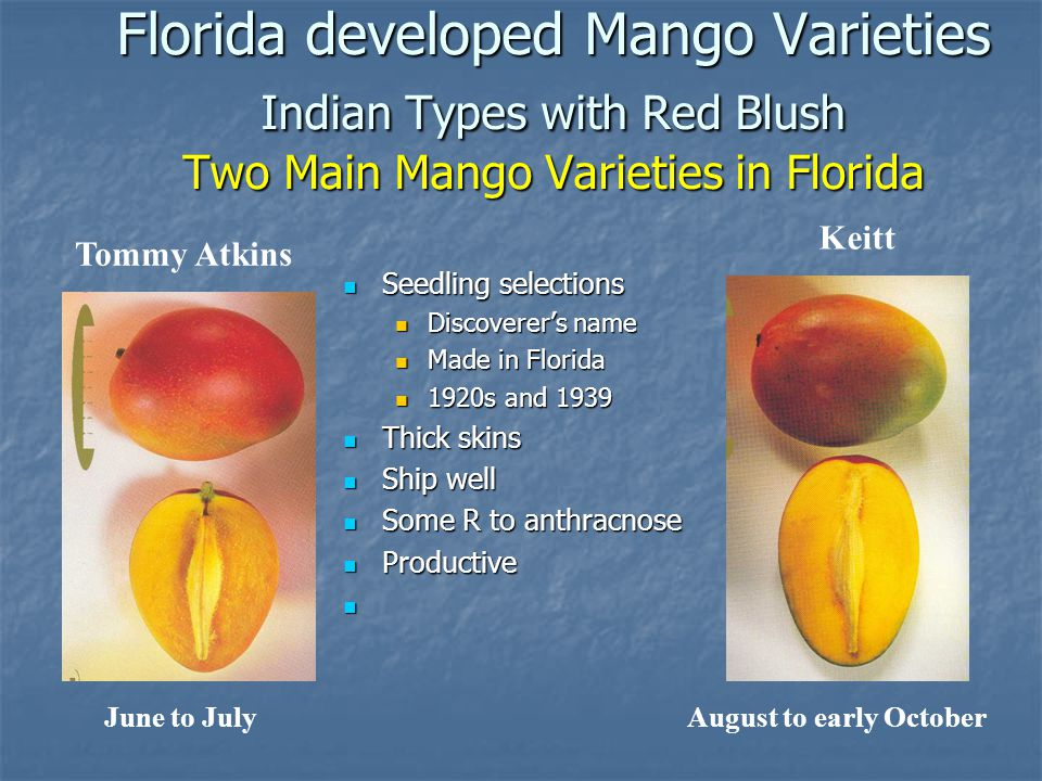 Florida developed Mango Varieties Indian Types with Red Blush Two Main Mango Varieties in Florida