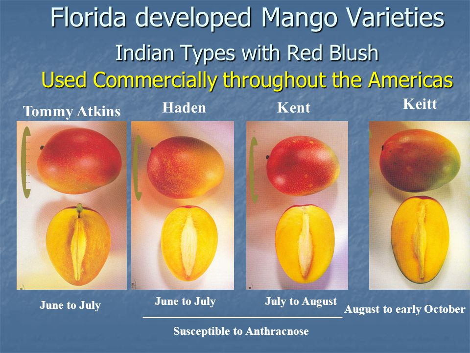 Florida developed Mango Varieties Indian Types with Red Blush Used Commercially throughout the Americas