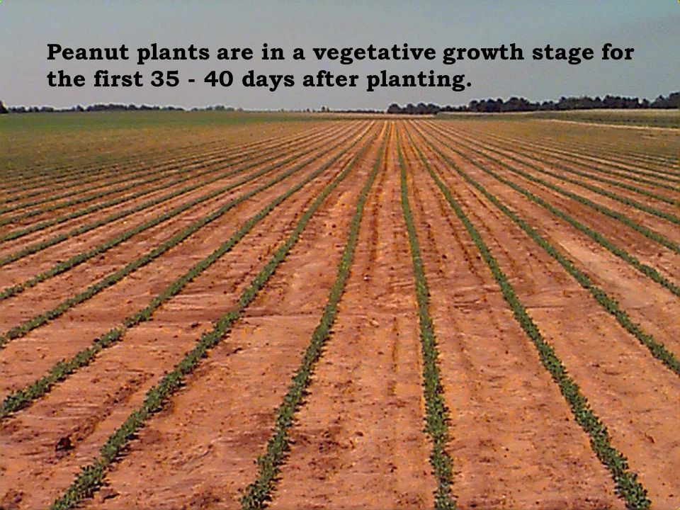 Peanut plants are in a vegetative growth stage for