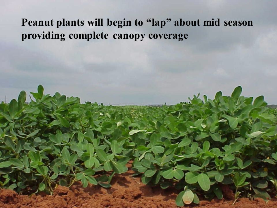 Peanut plants will begin to lap about mid season providing complete canopy coverage