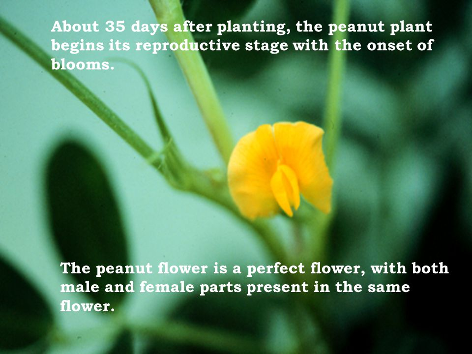 About 35 days after planting, the peanut plant