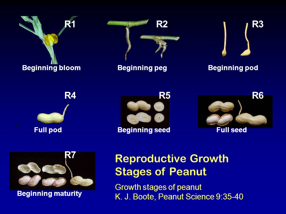 Reproductive Growth Stages of Peanut