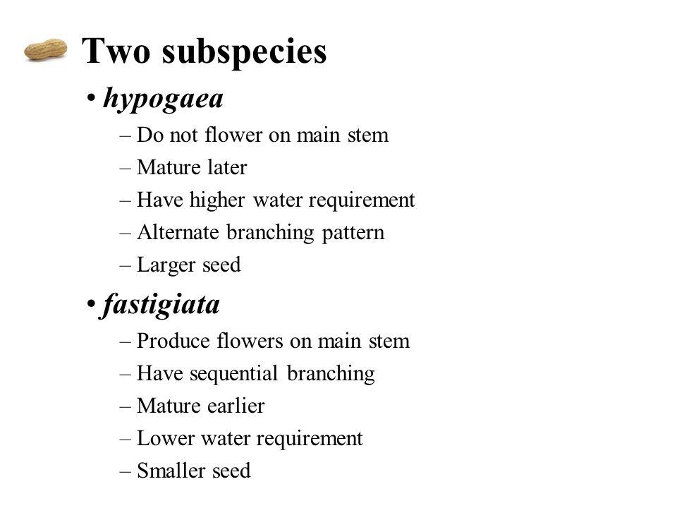 Two subspecies hypogaea fastigiata Do not flower on main stem
