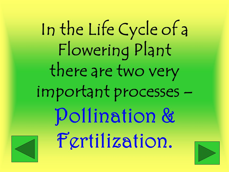 In the Life Cycle of a Flowering Plant there are two very important processes – Pollination & Fertilization.
