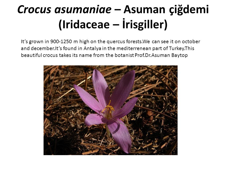 Crocus asumaniae – Asuman çiğdemi (Iridaceae – İrisgiller)